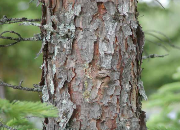 Benefits of Black Spruce