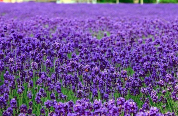 Benefits of Lavender Vera