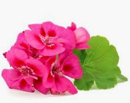 Health Benefits of Rose Geranium