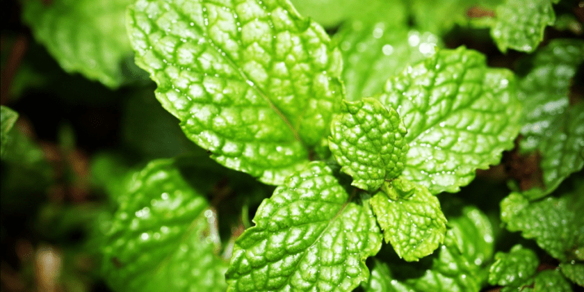 8 Health Benefits of Peppermint