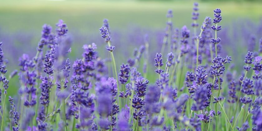 HB Naturals Lavender Essential Oils: Why do you need it.