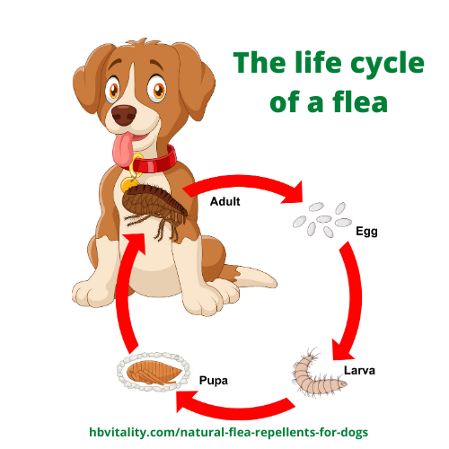 The life cycle of a flea from egg, larva, pupa to adult flea